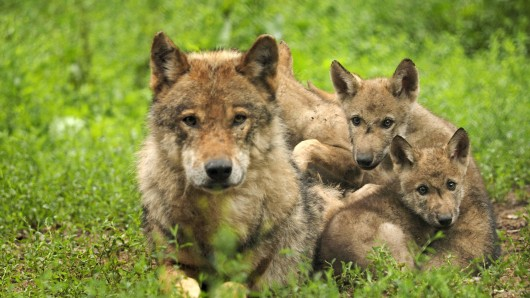 Europaeischer Wolf, Europaeischer Grauwolf, Gewoehnlicher Wolf, Gemeiner Wolf (Canis lupus lupus), Wolf mit Nachwuchs, Deutschland, Bayern European gray wolf (Canis lupus lupus), wolf with pups, Germany, Bavaria BLWS403010 Europe Eischen Wolf Europe Eischen Grey Wolf Habitual Wolf Commun Wolf Canis Lupus Lupus Wolf with Offspring Germany Bavaria European Gray Wolf Canis Lupus Lupus Wolf With Pups Germany Bavaria